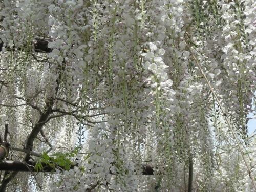 野坂寺の隣家の藤の花