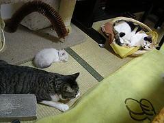 うちの3匹のネコがだいぶ大きくなったのでそろそろトイレでもしつけるか