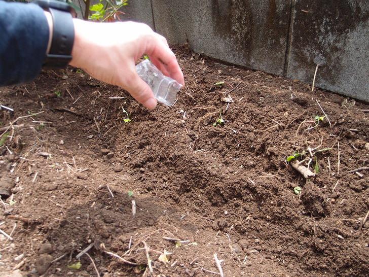 イヌハッカ(キャットニップ)取り寄せから植えるまで