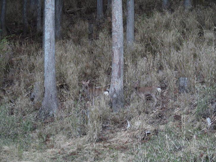 三峯神社付近にいる野生の鹿