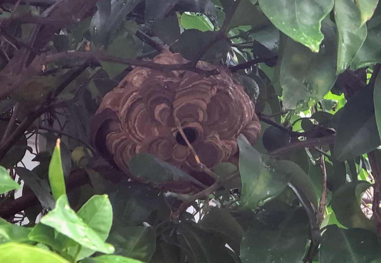 スズメバチの巣を除去してもらう